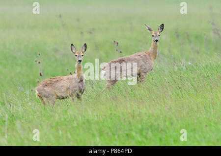 Roe Deer in green meadow - Stock Photo