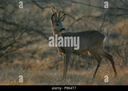 Ree ; Roe deer - Stock Photo