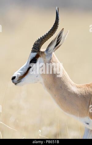 Springbok closeup van kop Namibie, Springbok close up of head - Stock Photo