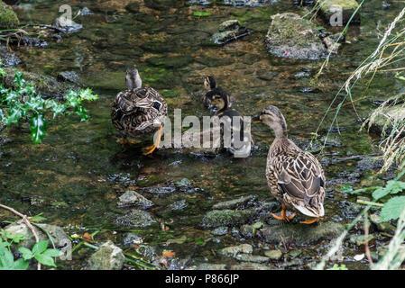 Two female mallard ducks (Anas platyrhynchos) and three ducklings walking up a shallow stream - Stock Photo