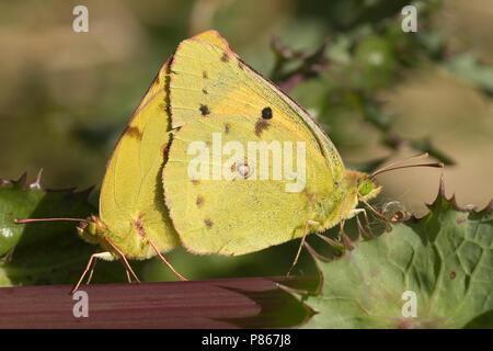 Zuidelijke Luzernevlinder, Berger's clouded yellow - Stock Photo