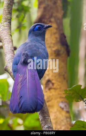 Adult Blue Coua (Coua caerulea) perched in canopy - Stock Photo