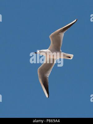 Dunbekmeeuw, Slender-billed Gull, Chroicocephalus genei - Stock Photo