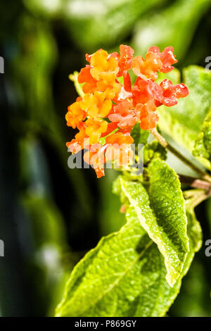 Common lantana (Lantana camara) on the dunes of Siriu Beach. Garopaba, Santa Catarina, Brazil. - Stock Photo