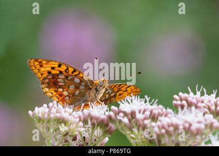Bosrandparelmoervlinder / High Brown Fritillary (Argynnis adippe) - Stock Photo