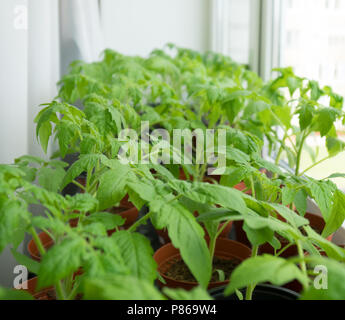 Young tomato plants on windowsill at home. - Stock Photo