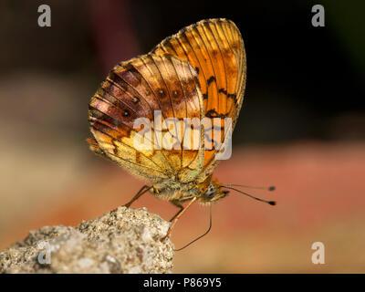 Braamparelmoervlinder / Marbled Fritillary (Brenthis daphne) - Stock Photo