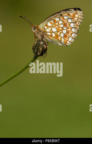 Duinparelmoervlinder / Niobe Fritillary (Argynnis niobe) - Stock Photo