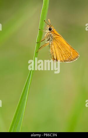 Dwergdikkopje / Lulworth Skipper (Thymelicus acteon) - Stock Photo