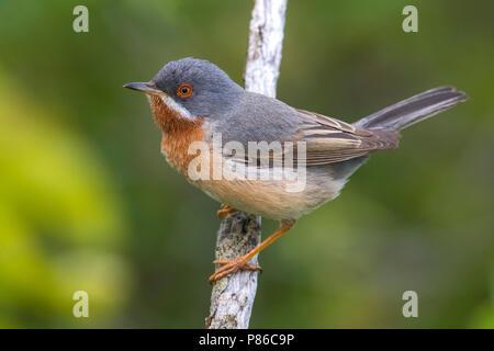 Eastern Subalpine Warbler; Sylvia cantillans cantillans - Stock Photo