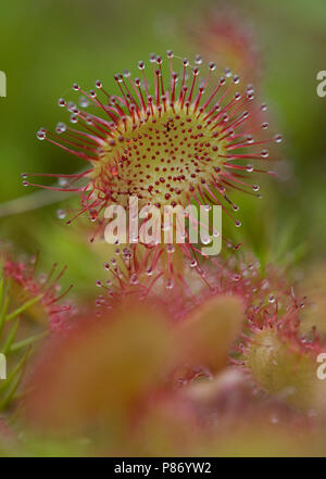 Rondbladige zonnedauw in veenmos; Common sundew in peatmoss Stock Photo
