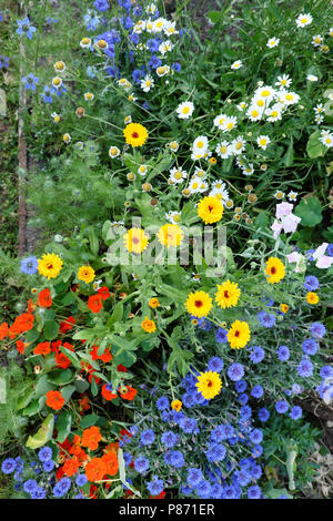 Herbaceous border with blue cornflower, red orange nasturtiums, yellow calendula and white daisies in a garden in West Wales UK  KATHY DEWITT - Stock Photo