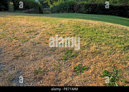 Parched lawn during 2018 summer heatwave in Carmarthenshire Wales UK  KATHY DEWITT - Stock Photo