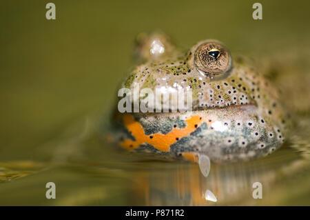 Close up van de kop van een Roodbuikvuurpad in een poeltje, Close-up of the head of a Fire-bellied toad - Stock Photo