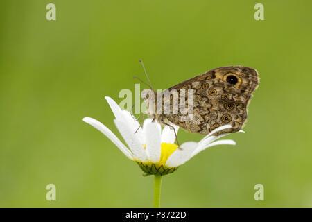 Argusvlinder zittend op bloem; Wall Brown sitting on flower; - Stock Photo