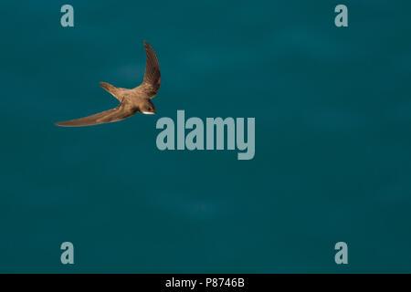 Alpine Swift - Alpensegler - Tachymarptis melba ssp. melba, Cyprus, adult - Stock Photo
