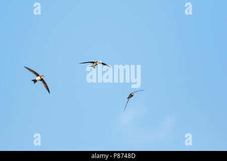Alpine Swift - Alpensegler - Tachymarptis melba ssp. melba, Germany, adult - Stock Photo