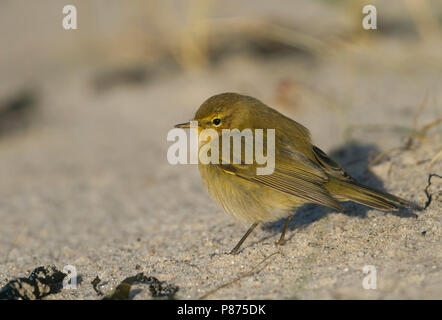 Common Chiffchaff - Zilpzalp - Phylloscopus collybita ssp. collybita, Germany - Stock Photo