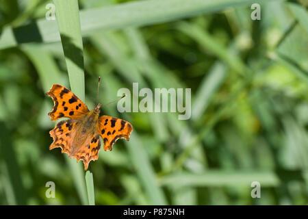 Comma butterfly, Polygonia c-album, UK - Stock Photo