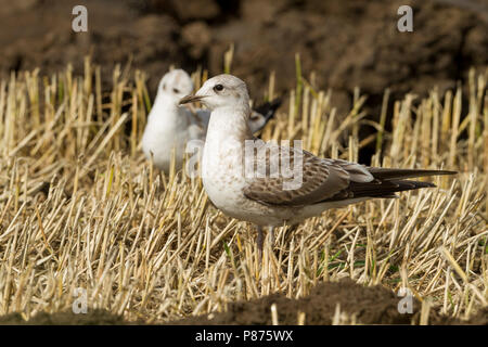 Stormmeeuw, Mew Gull, Larus canus ssp. canus, Germany, juvenile - Stock Photo