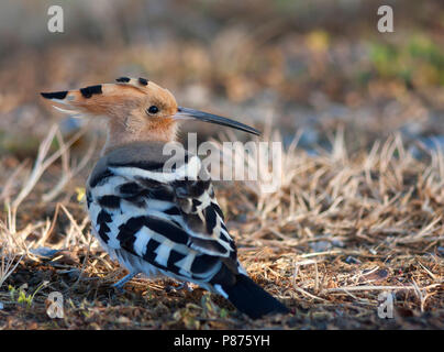 Common Hoopoe - Wiedehopf - Upupa epops ssp. epops, Turkey, adult - Stock Photo