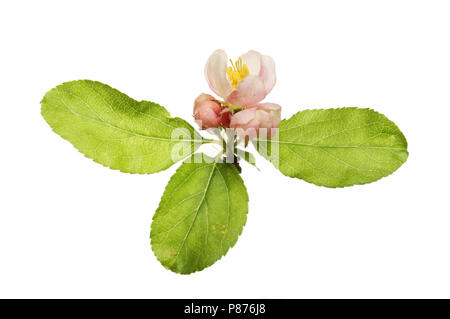 Apple blossom and leaves isolated against white - Stock Photo