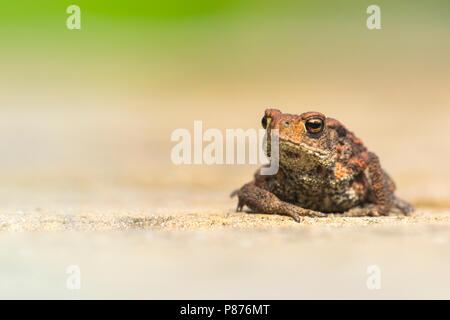 Gewone Pad, Common Toad - Stock Photo