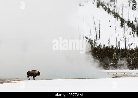 American Bison (Bison bison) standing near hotspring in Yellowstone National Park - Stock Photo
