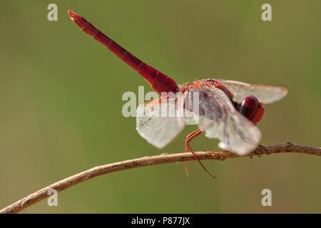 Mannetje Vuurlibel, Male Crocothemis erythraea - Stock Photo