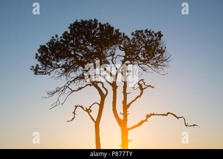 Pinus sylvestris - My sunrise tree. Torronsuo National Park, Finland. - Stock Photo