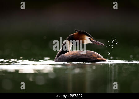 Great Crested Grebe - Haubentaucher - Podiceps cristatus ssp. cristatus, Germany, adult - Stock Photo