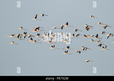 Greater Flamingo - Rosaflamingo - Phoenicopterus roseus, Oman - Stock Photo