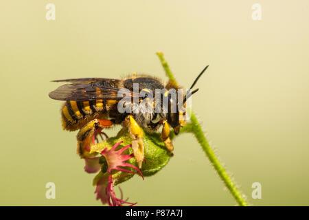 Grote Wolbij, Wool Carder Bee, Anthidium manicatum - Stock Photo
