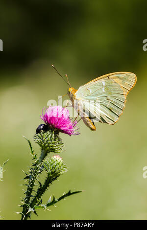 Kardinaalsmantel, Cardinal, Argynnis pandora - Stock Photo
