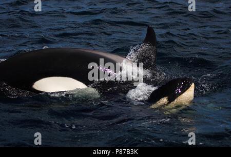 Orka, Killer whale, Orcinus orca - Stock Photo