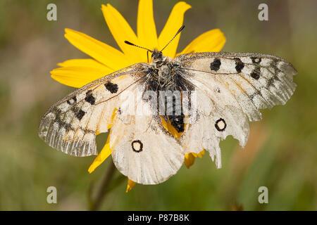 Kleine apollovlinder / Small Apollo (Parnassius phoebus) - Stock Photo