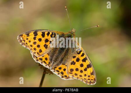 Kleine parelmoervlinder / Queen of Spain Fritillary (Issoria lathonia) - Stock Photo