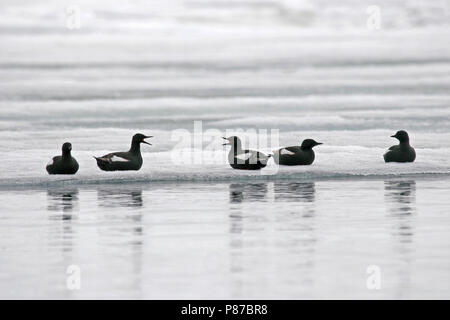 Black Guillemots (Cepphus grylle) during artctic summer resting on ice in Svalbard, arctic Norway. - Stock Photo