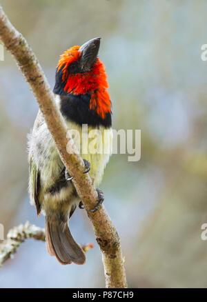 Black-collared Barbet (Lybius torquatus) perched in a tree - Stock Photo