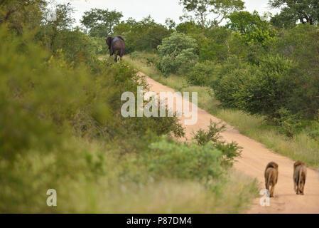 Male lion coalition following and elephant elephant hunter lion - Stock Photo