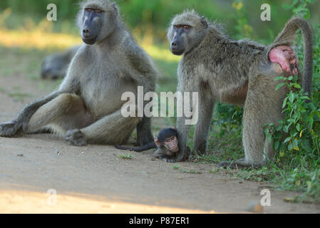 Baboon family in wilderness of Kruger - Stock Photo