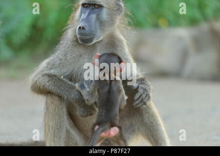 Baby baboon playing action cutest monkey in Kruger - Stock Photo