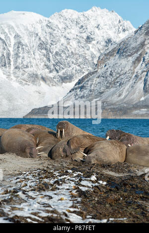 Group of walruses in Smeerenburgfjord, Nordvest-Spitsbergen National Park, Svalbard, Norway. - Stock Photo