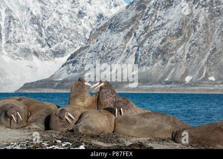 Group of walruses in Smeerenburgfjord, Nordvest-Spitsbergen National Park, Svalbard, Norway.