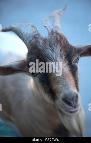 looking goat with horns - Stock Photo