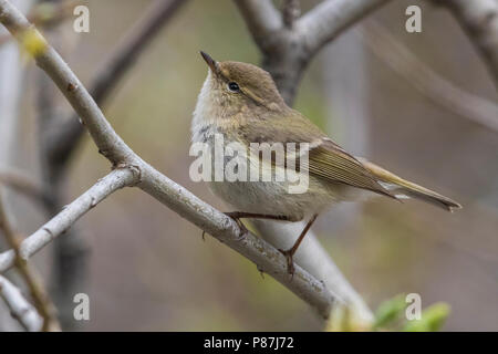 Humes Bladkoning, Hume's Leaf Warbler, Phylloscopus humei - Stock Photo