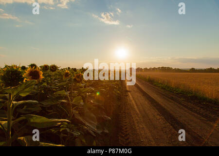 The sunflower fields on the left during sunset the dirt road leaves in the horizon and the wheat field on the right - Stock Photo