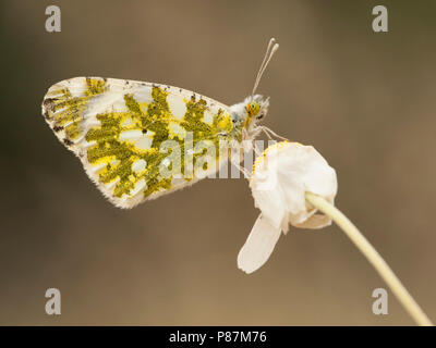 Oostelijk marmerwitje / Eastern Dappled White (Euchloe ausonia) - Stock Photo