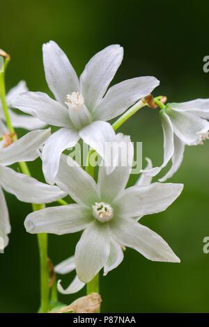 Bloeiende Knikkende vogelmelk, Flowering Drooping Star-of-Bethlehem - Stock Photo
