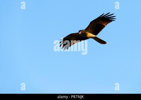 Black Kite ( Milvus migrans ) flying overhead, Western Australia - Stock Photo